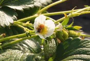 蜂が頑張って受粉
