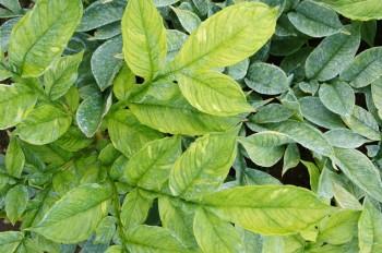 コンニャクの葉は、実は1枚でできています。