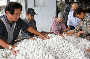 「白繭」の選繭をする生産者