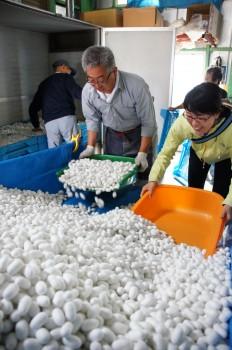 繭を乾繭機へ入れる生産者とJA職員、県職員