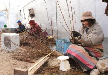 花桃の規格に合わせて切り揃える町田實さん、スエ子さん、考子さん