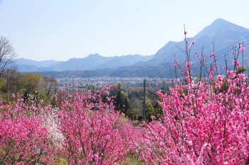花桃(4月上旬見ごろ)