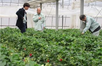 イチゴ栽培の圃場を確認する審査員ら やまなみ