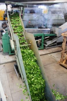 お茶の生葉を蒸し器に運びます