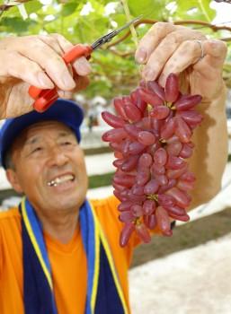 ちちぶ山ルビーを収穫する福島邦征さんHP