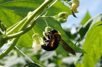 受粉をするクマンバチ