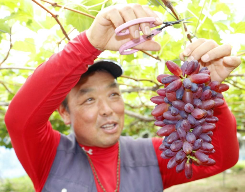 丁寧に育てたブドウを収穫する千島孝夫さんHP