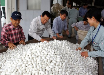 白繭の選繭作業