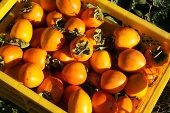 秋には良質な柿が収穫できます