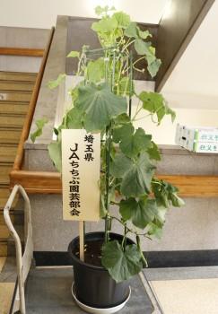 鉢植えキュウリ