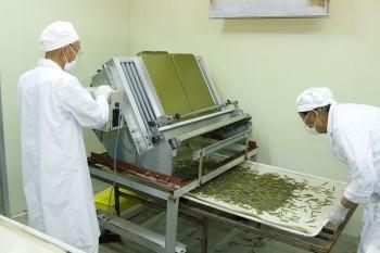 自動給餌機で裁断した人工稚蚕飼料の給餌