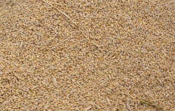 収穫した二条大麦