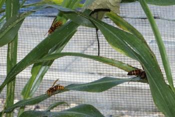 今年はソルゴーにスズメバチが多く来集しています
