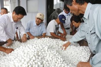 白繭の選繭をする生産者らHP