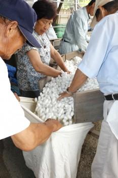 選繭した白繭を袋詰め