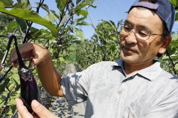 ナスの収穫をする八木さん ヨコ1